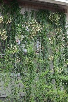 ボマレアグリーンカーテン.jpg