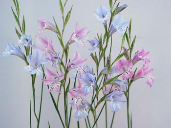 gladioluslatifolius.jpg